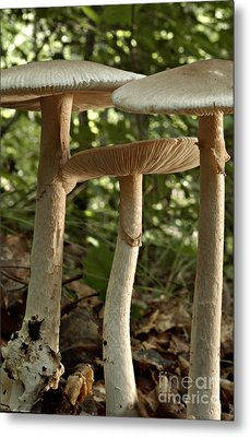 Parasol Mushrooms Macrolepiota Sp Metal Print by Susan Leavines