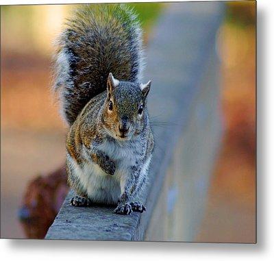 Park Squirrel I Metal Print by Daniel Woodrum