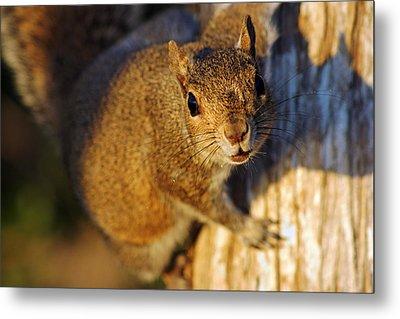 Park Squirrel II Metal Print by Daniel Woodrum
