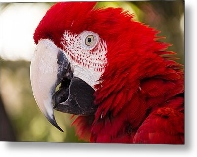 Parrot Metal Print by Cathy Donohoue