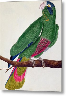 Parrot Metal Print by Francois Nicolas Martinet