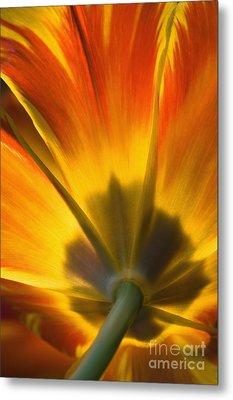 Parrot Tulip - D008405 Metal Print by Daniel Dempster