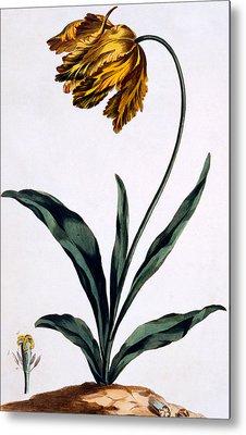 Parrot Tulip Metal Print by John Edwards