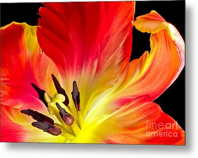Parrot Tulip On Fire Metal Print by Art Barker