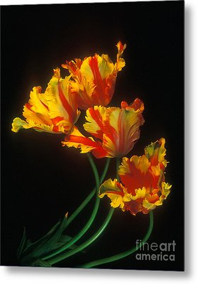 Parrot Tulips On Easter Morning Vertical Metal Print