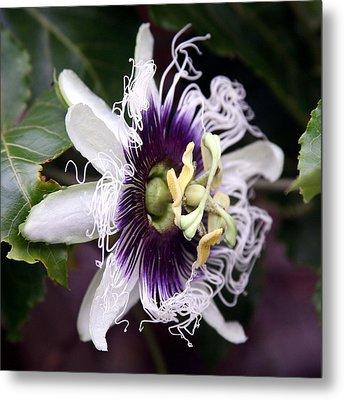Pasionfruit Flower Metal Print by Jeffrey Lee