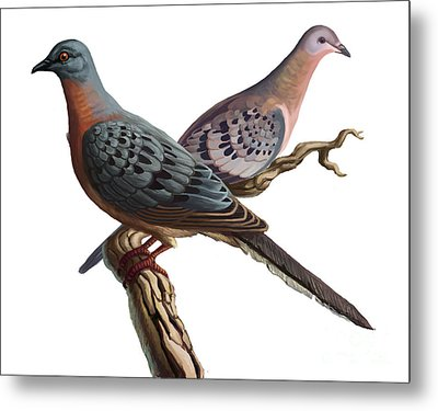 Passenger Pigeon  Metal Print by Spencer Sutton