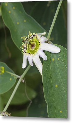 Passiflora Cuneata Metal Print by Science Photo Library