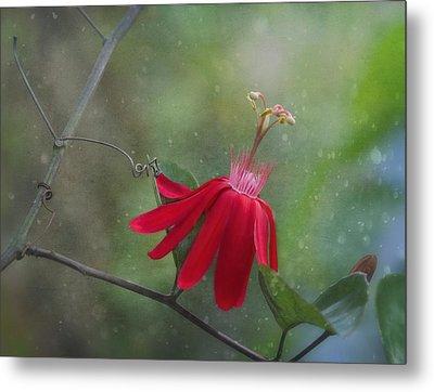 Passiflora Flower Metal Print by Kim Hojnacki