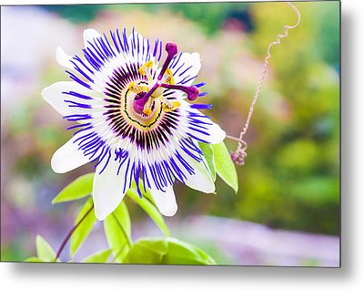 Passiflora Or Passion Flower Metal Print by Semmick Photo