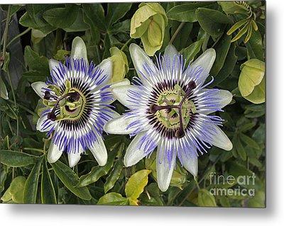 Passion Flower Hybrid Cultivar Metal Print by Tony Craddock