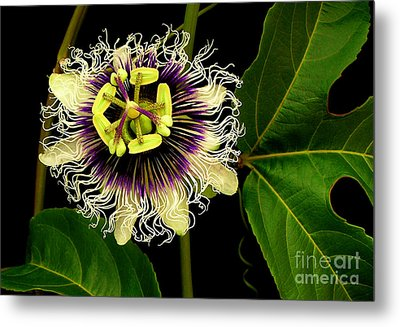 Passion Flower Metal Print by James Temple