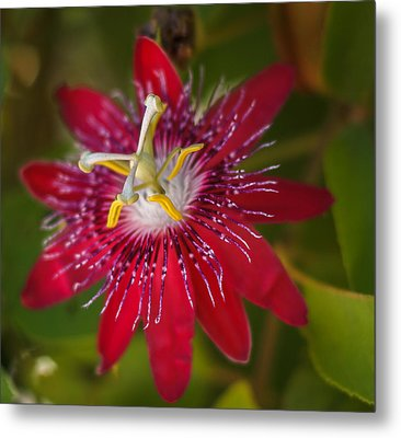 Metal Print featuring the photograph Passion Flower by Jane Luxton