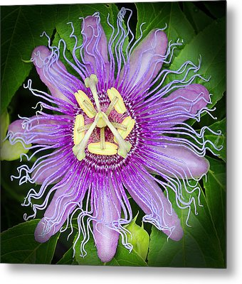 Passion Flower Metal Print by Judy Vincent