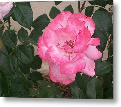 Metal Print featuring the photograph Passion Pink by Jewel Hengen