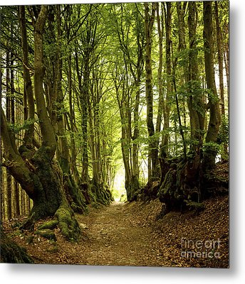 Path Lined Whit Old Beeches. Allier. Auvergne. France Metal Print