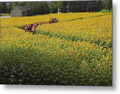 Path Through The Sunflowers Metal Print