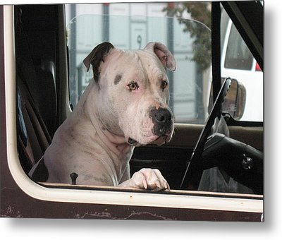 Patient Rose Pit Bull Dog Portrait In Evanston Wyoming Metal Print