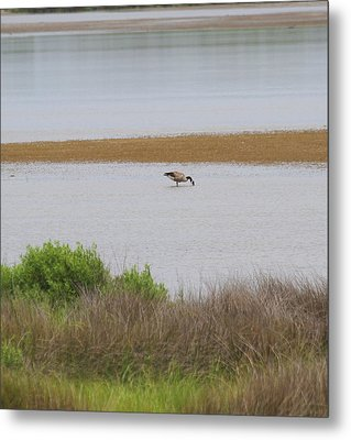 Pea Island National Wildlife Refuge 10 Metal Print by Cathy Lindsey
