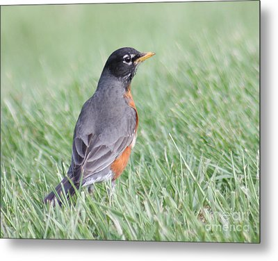 Metal Print featuring the photograph Peaceful Robin by Anita Oakley