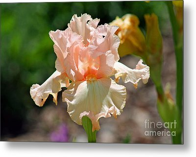 Peach-colored Iris Metal Print by Karen Adams