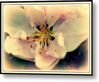 Peach Flower Metal Print by Karen Kersey