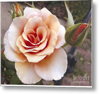 Peach Rose 1 Metal Print by Rod Ismay
