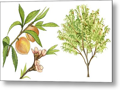 Peach Tree Metal Print