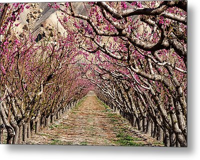 Peach Tree Tunnel Metal Print by John McArthur