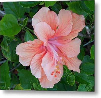 Peachy Hibiscus Metal Print