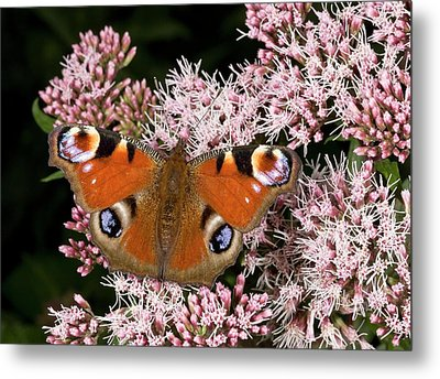 Peacock Butterfly On Hemp Agrimony Metal Print by Bob Gibbons