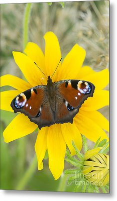 Peacock Butterfly On Rudbeckia Flower  Metal Print by Tim Gainey