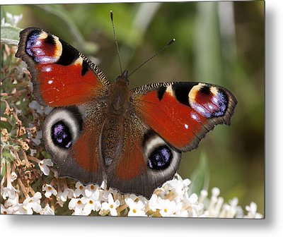 Peacock Butterfly Metal Print by Richard Thomas