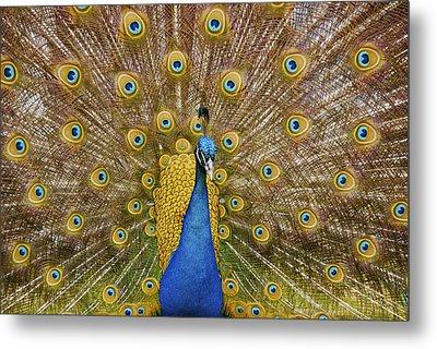 Peacock Courting Metal Print by Charles Beeler