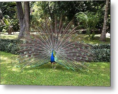 Peacock Displaying Feathers Metal Print by Joe Belanger