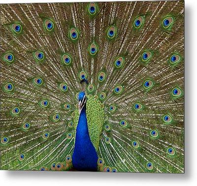 Peacock Metal Print by Ernie Echols