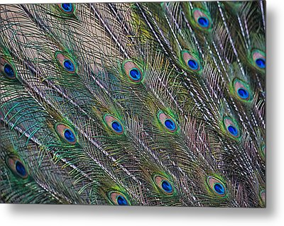 Peacock Feathers Abstract Metal Print by Eti Reid