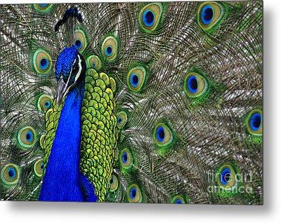 Peacock Head Metal Print by Debby Pueschel
