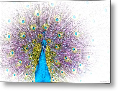 Peacock Metal Print by Holly Kempe