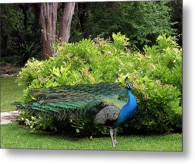 Peacock In Austin Garden Metal Print by Linda Phelps