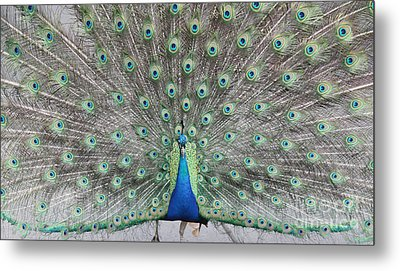 Metal Print featuring the photograph Peacock by John Telfer