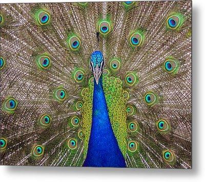Peacock Metal Print by Leigh Anne Meeks