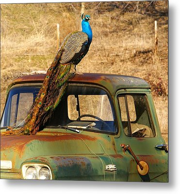 Peacock On Old Gmc Truck 3 Metal Print