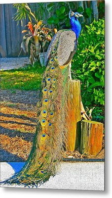 Peacock On The Stump Metal Print by Joan McArthur