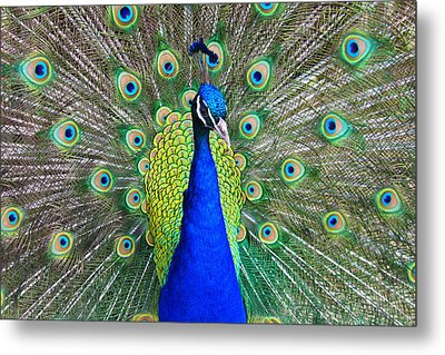 Peacock Metal Print by Roger Becker