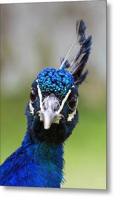 Peacock Stare Down Metal Print