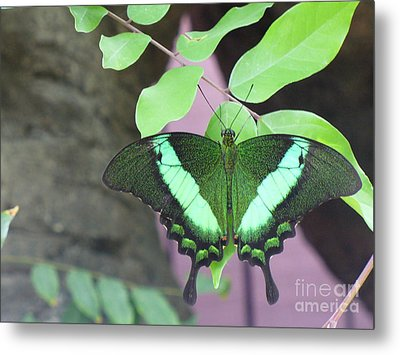 Metal Print featuring the photograph Peacock Swallowtail by Lingfai Leung