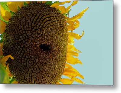 Peak A Boo Sunflower Metal Print