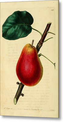 Pear 1829 Metal Print by Philip Ralley