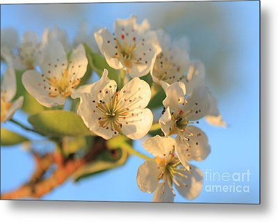 Metal Print featuring the photograph Pear Blossom 3 by Rebeka Dove